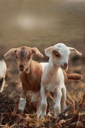 baby-goats-cute-animal-pictures