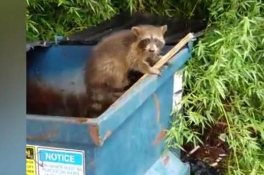 raccoon-gives-man-a-nod-as-thank-you-for-dumpster-rescue