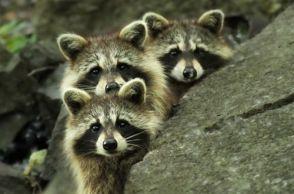 raccoon-raucous-1
